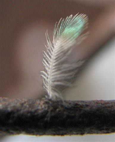 hummingbird feather when i went onto my balcony to water m flickr