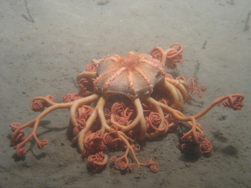 Basket star (Gorgonocephalus) | by SERPENT Project