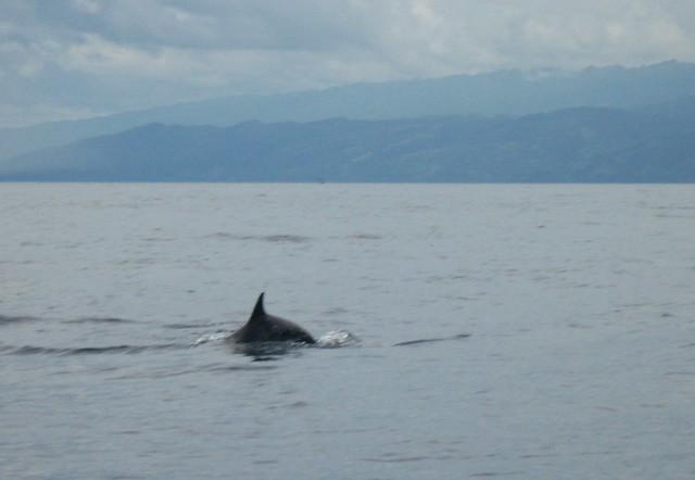 Dwarf Sperm WhaleDwarf Sperm Whale