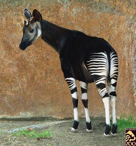 Okapi Did You Know The Okapi Pronounced Oh Kah Pea Is Flickr
