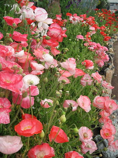 Papaver 'Falling in Love' mix | by anniesannuals