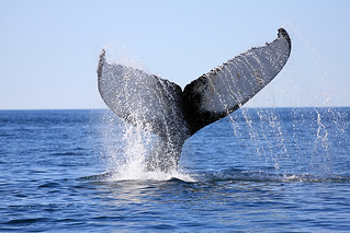 Whale | by Cyrille Humbert