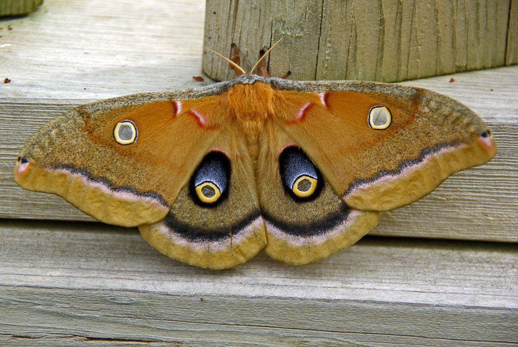 Antheraea Polyphemus Moth The Following Description Of