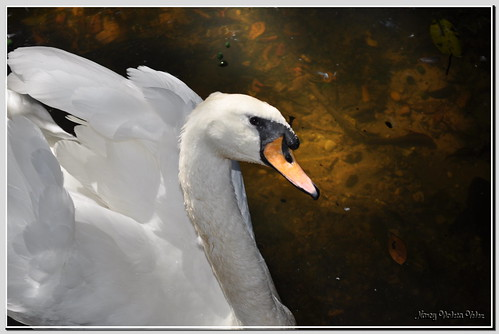 My tender swan | by Nancy Violeta Velez