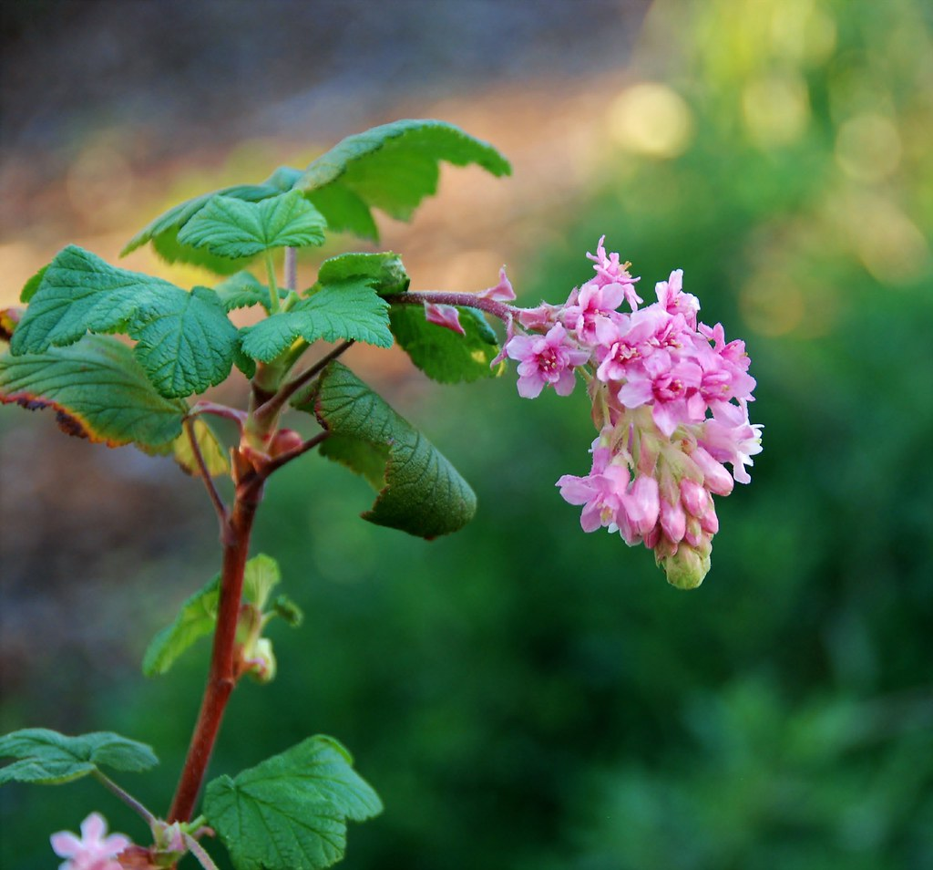 Ribes sanguineum pink flowering currant pete veilleux flickr ribes sanguineum pink flowering currant by peteeastbaywilds mightylinksfo