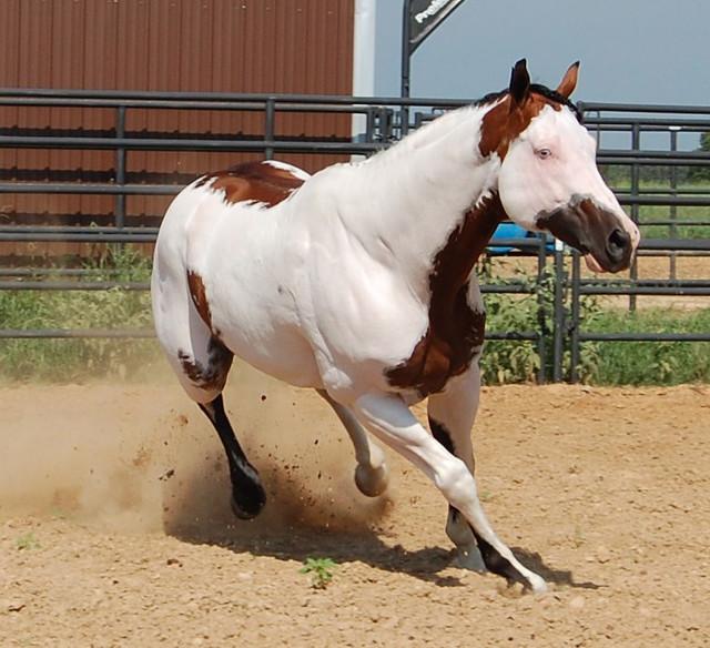 Bay Frame Overo/sabino Paint Horse Stallion