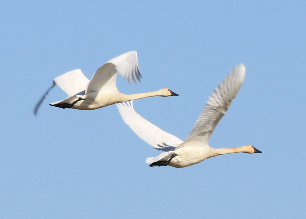 0342_tundra_swan_pair_munsel_odfw | by Oregon Department of Fish & Wildlife