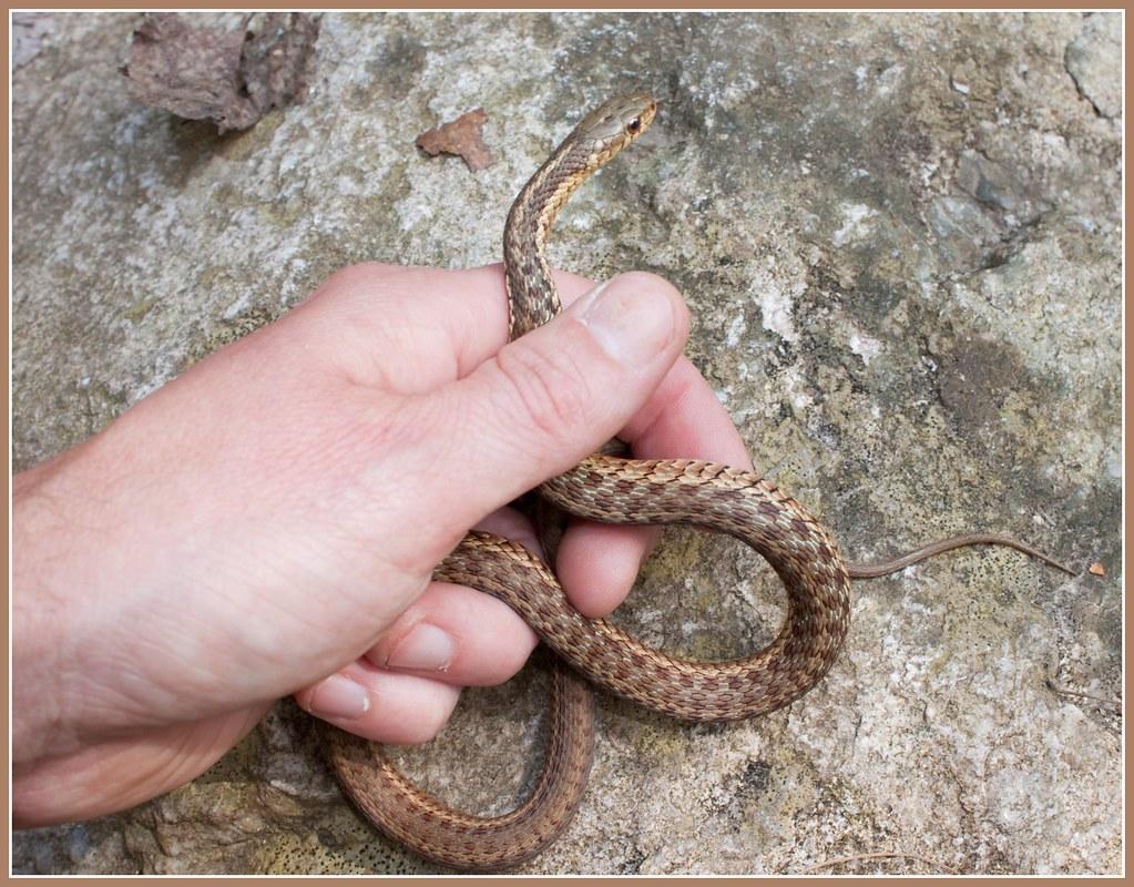baby brown garter snake