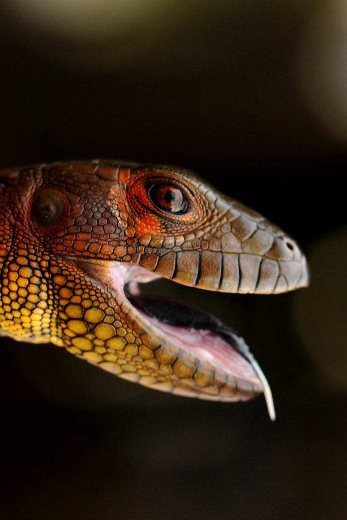 Dracaena guianensis: P...