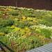 Blooming Sedum, Summer 2009