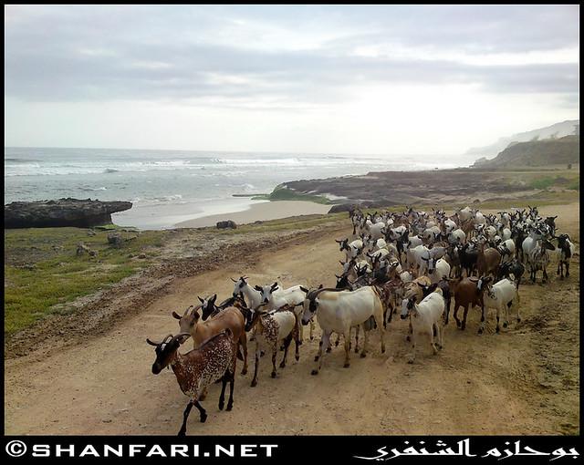 Goats Chillin' at Dhalkut Beach, Dhofar