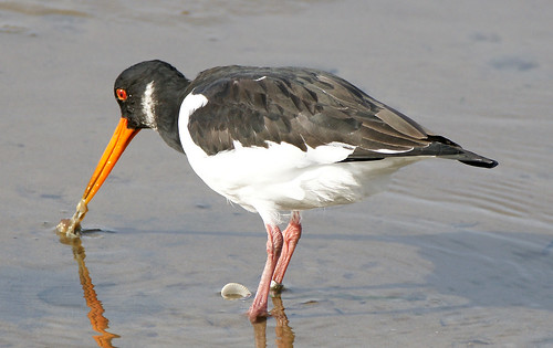 An Oystercatcher catching | by SteveJM2009
