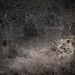 B&W Nature - Leopard in the Grass