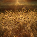 Wheat at the sun beams