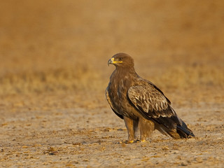 Steppe Eagle in Banni Grasslands | by Tarique Sani