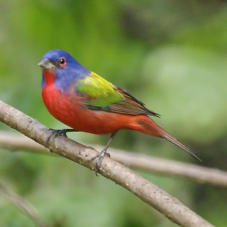 Male Painted Bunting | by Mike's Birds