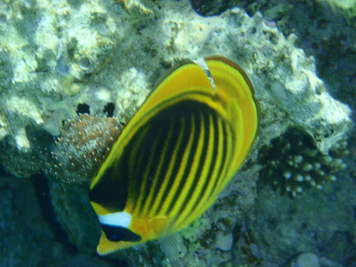 For that Info on striped butterfly fish