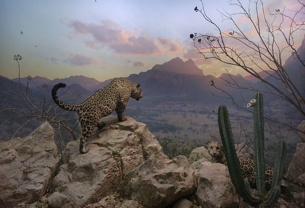 What Is A Jaguar >> Jaguar Diorama at the American Museum of Natural History | Flickr