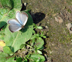 004. Tiny Grass Blue Butterfly (TINNI) - Taking Sun Bath