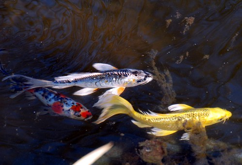 Butterfly Koi - 78/365 | Project 365 * 78/365 * March 19 ...