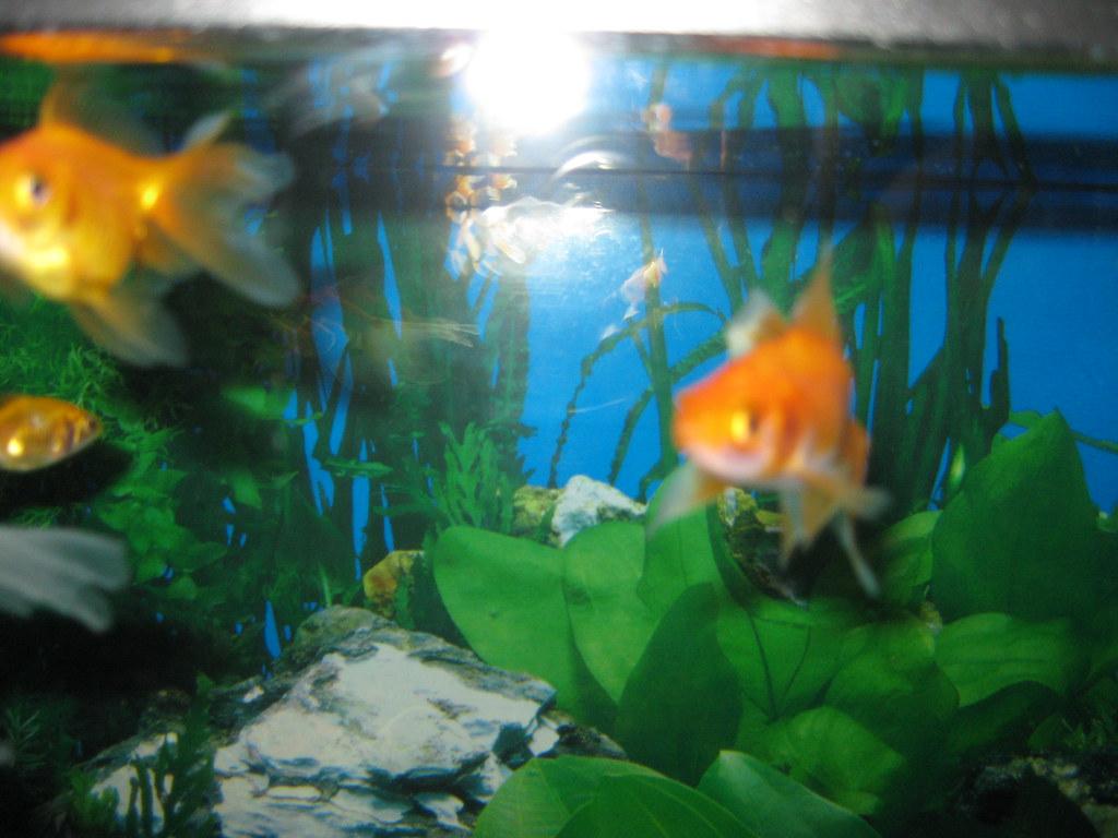 Tre orifiamma della vasca di pesci rossi acquario da 60 for Vasca pesci esterno