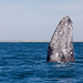 Grey whale (Escrichtius robustus) 12 Feb-10-7571