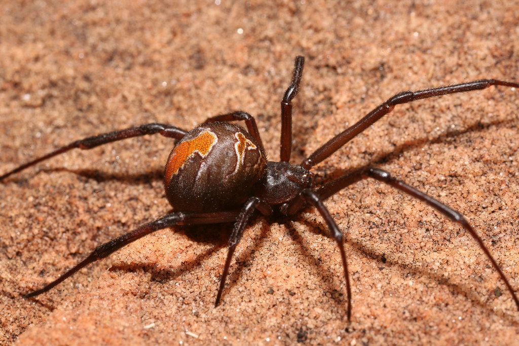 Highly venomous Redback spider (Latrodectus hasselti), Ali ...