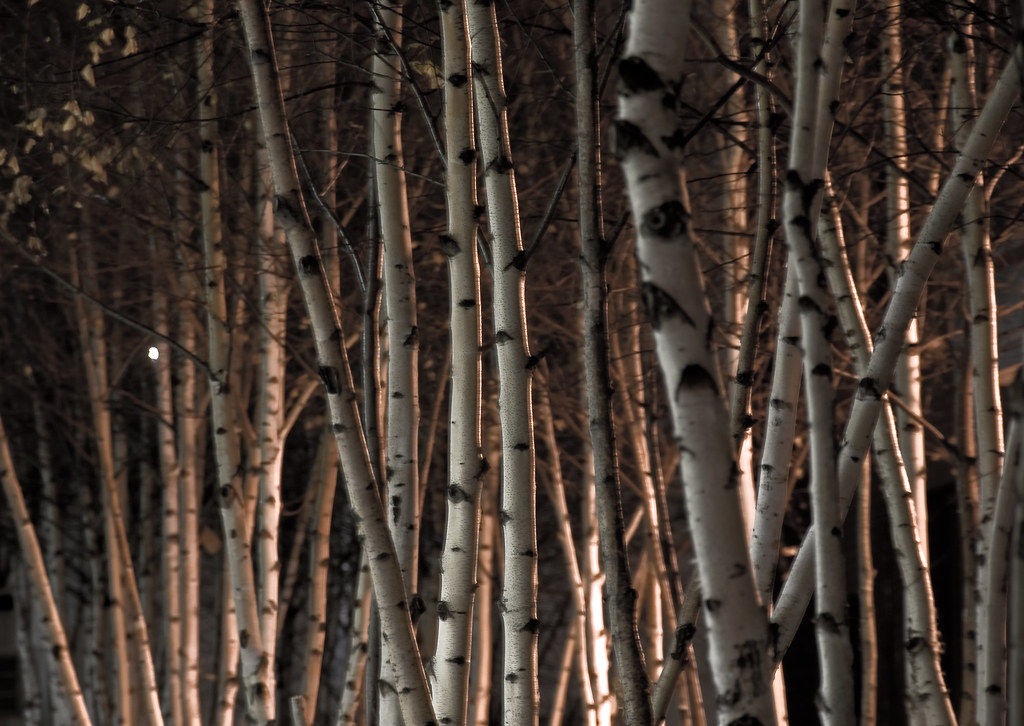 Night Lights And Birch Trees Kiril Strax Flickr