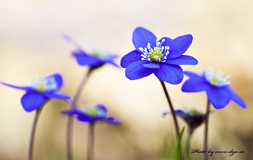 Hepatica nobilis | by Deja Photo From Lens To Picture