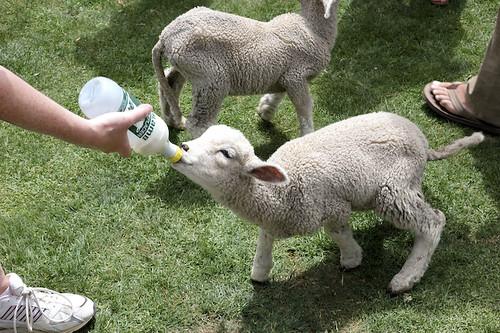 Lambs, Hobbiton Tour, Matamata