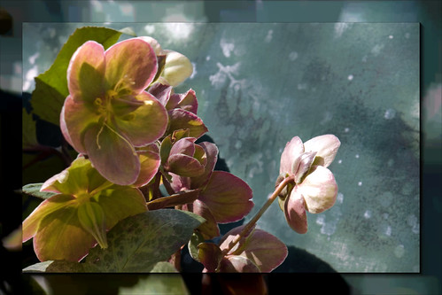 Hellebore | by KM Anderson
