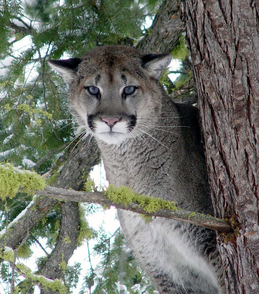 cougar A new study by researchers