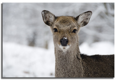 A Sika Stare | by SallyT.
