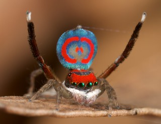 _MG_0345 peacock spider Maratus splendens | by Jurgen Otto