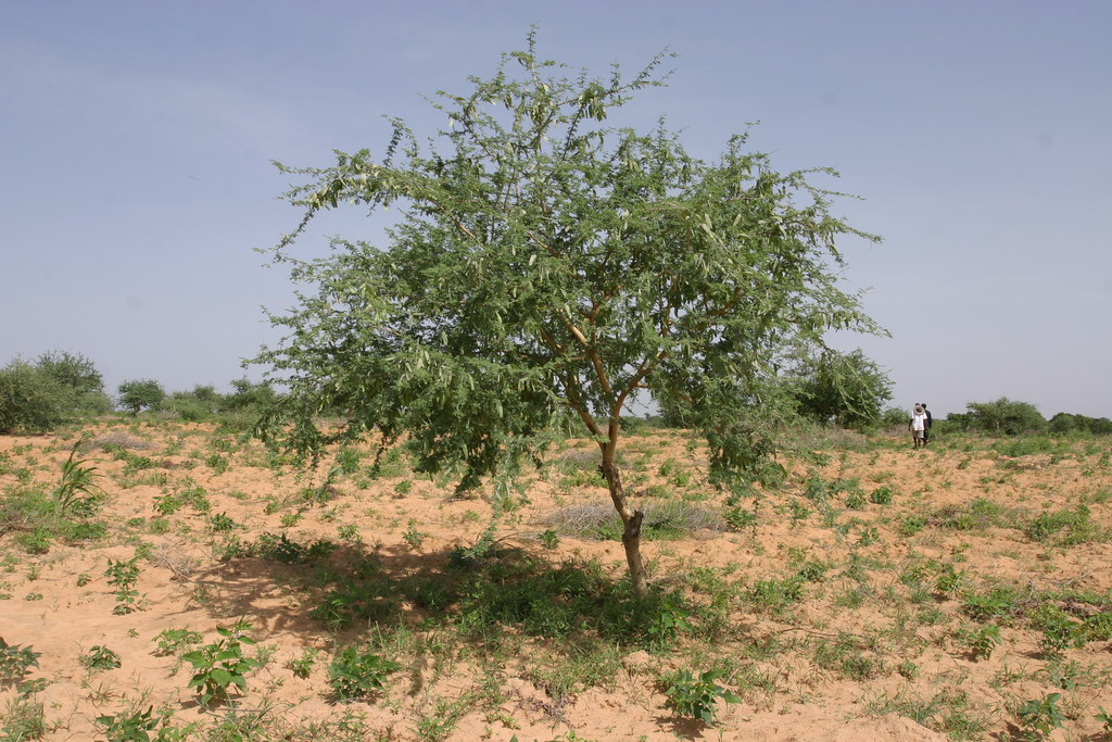 Acacia Senegal | tree-nation.com | Flickr