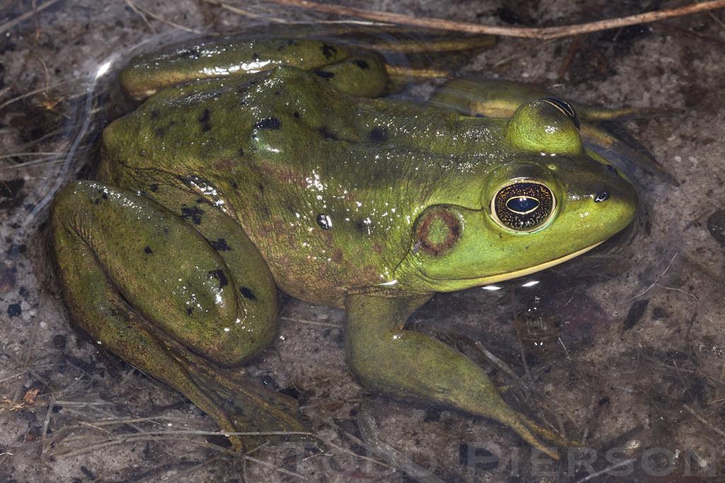 Rana [Aquarana] grylio: Pig Frog | Adult from northern ...