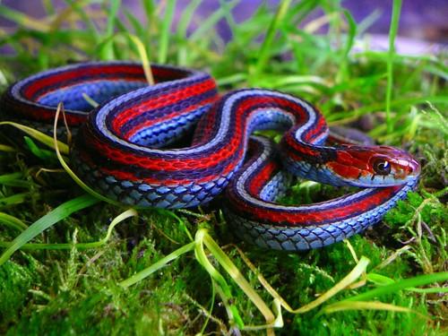 San Francisco garter snake   Breeders world line breed brigh…   Flickr