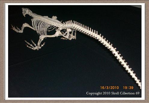 free gecko skeleton