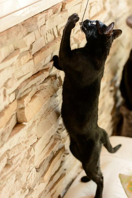 Selva, gatita Pantera guapa, estilizada y divertida esterilizada, nacida en Mayo´16, en adopción. Valencia. ADOPTADA. 32832610852_1789810135_z