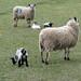 Sheep & Lambs