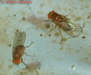 Moscas da Fruta // Fruit Flies (Drosophila immigrans) | by Valter Jacinto | Portugal