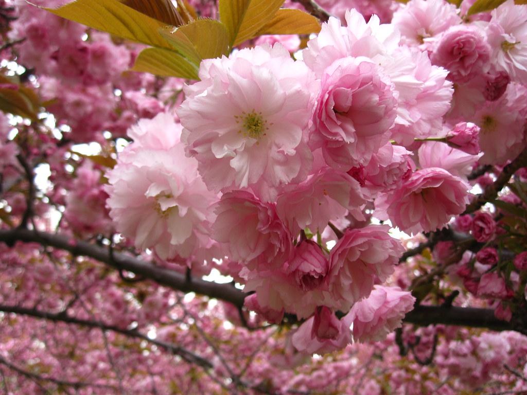 Flowering Cherries Prunus 39 Kanzan 39 On The Cherry