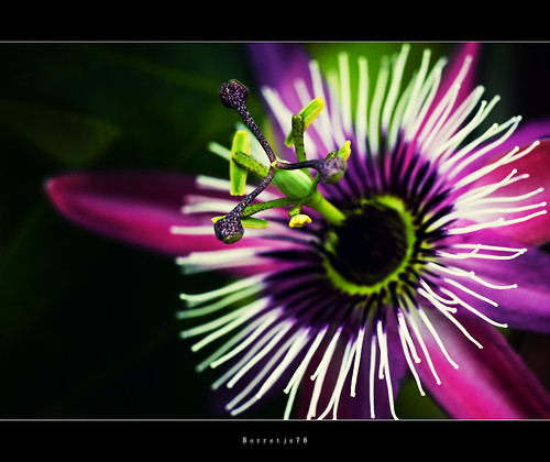Flower Macro: Color Burst ....  ....  ....[explored] | by Borretje76