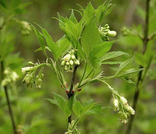 6728 American Bladdernut (Staphylea trifolia), Gettysburg