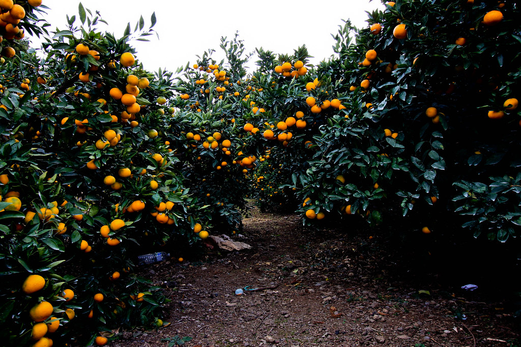 Tangerine Farm The Southern Part Of Jeju Island Has The