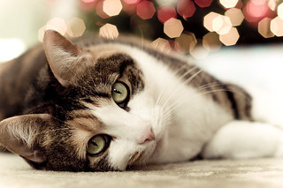 christmas kitten | by heather.dyan