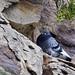 Pigeon-rock