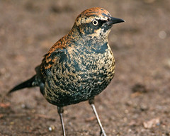 Rusty Blackbird | by Flapperatzi