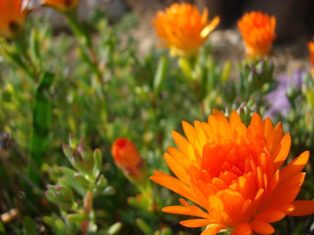 Fleurs de plante grasses flickr photo sharing - Plante grasse a fleur ...