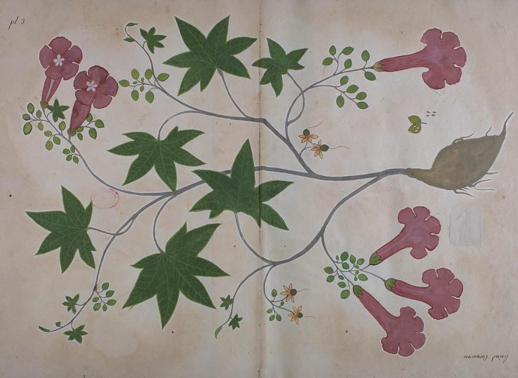 Le Jardin De Lorixa Ipomoea Batatas Digitised Manuscript Flickr